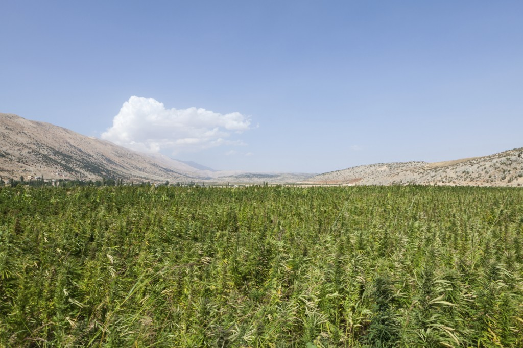 Marijuana-field-in-Lebanon-000026841258_Medium