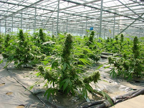 Mass Producing Marijuana | THE WEED BUSINESS